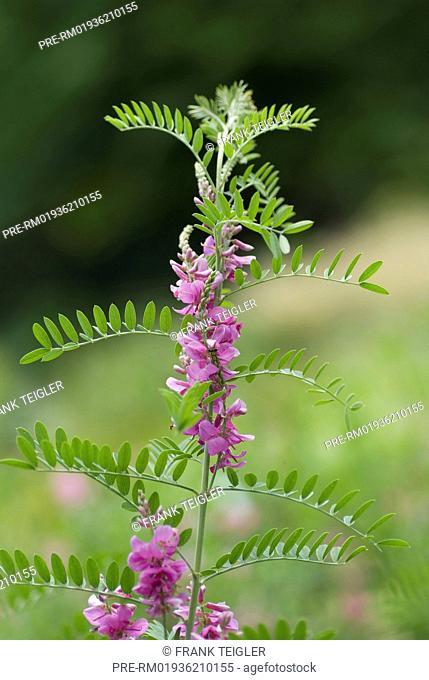 True Indigo, Indigofera tinctoria / Indigopflanze, Indigofera tinctoria