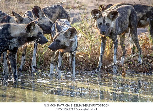 Pack of African wild dogs drinking at a water pool in the Kruger National Park, South Africa