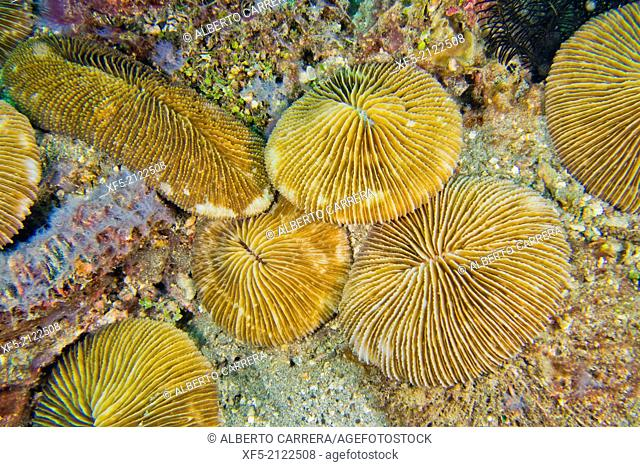 Disc coral, Plate coral, Mushroom Coral, Reef Building Corals, Fungia, Lembeh, North Sulawesi, Indonesia, Asia