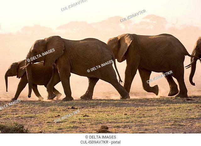 African elephants (Loxodonta africana), Amboseli National Park, Kenya, Africa