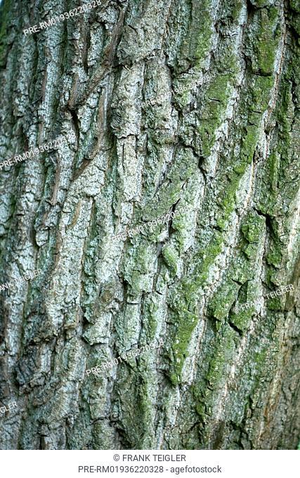 Grey Poplar, Populus x canescens / Grau-Pappel, Populus x canescens