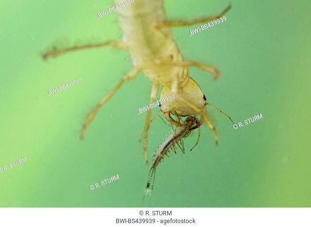 Great diving beetle (Dytiscus marginalis), larva eating a mayfly, Germany, Bavaria