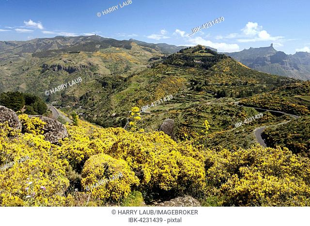 Yellow flowering dyer's greenweed (Genista), center of Gran Canaria, Canary Islands, Spain