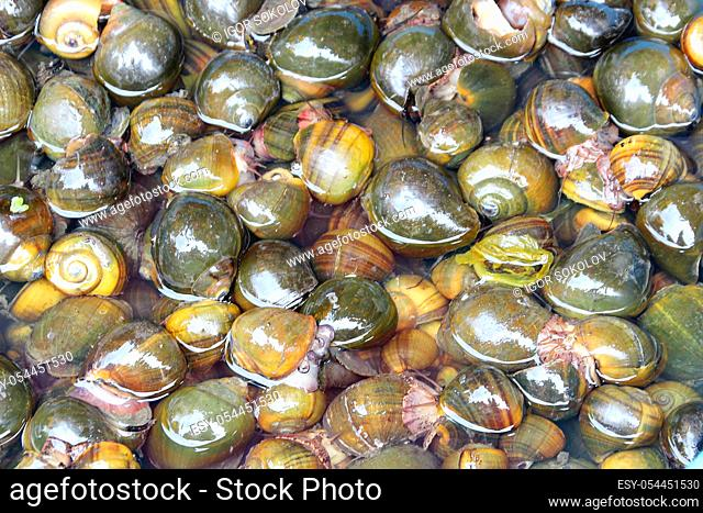 Many large edible water snails Ampullaria sold in a market in Phnom Penh, Cambodia