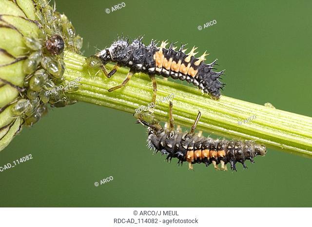 Multicolored Asian Lady Beetle larvae Harmonia axyridis Multicolored Asian Lady Bird