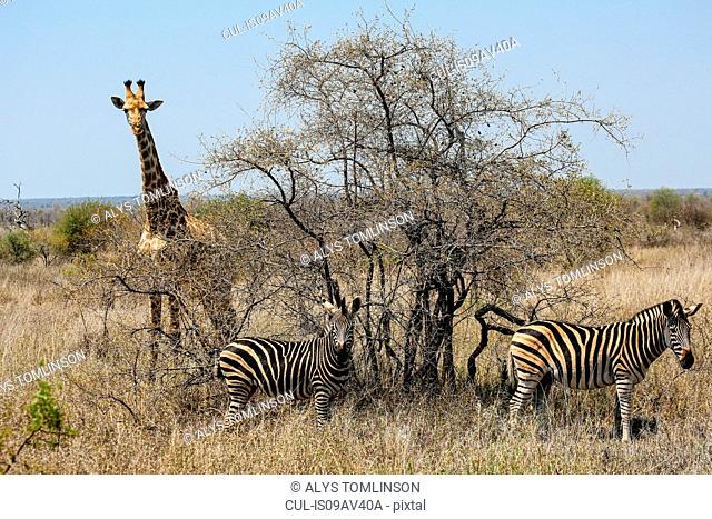 Giraffe and zebra, Kruger National Park, South Africa