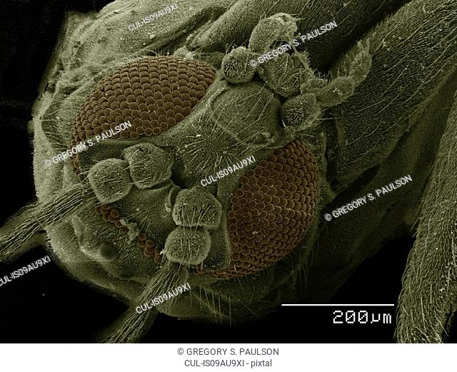 Coloured SEM of small fly (Diptera)
