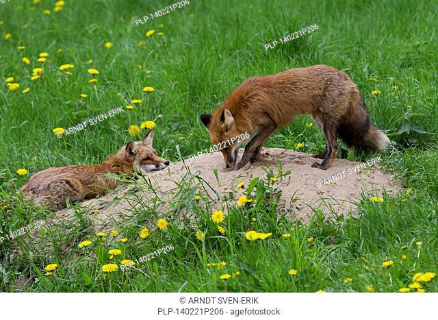 Two red foxes (Vulpes vulpes) near den in meadow