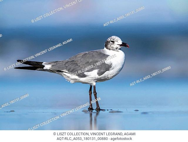 Laughing Gull sitting on a beach, North Wildwood, New Jersey. August 2016., Laughing Gull, Leucophaeus atricilla