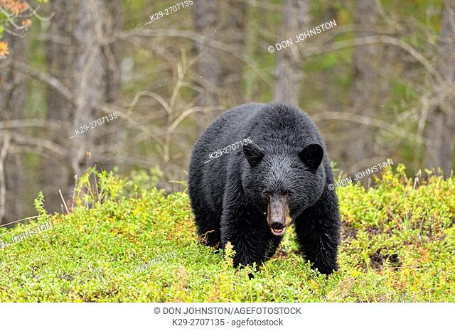 American black bear (Ursus americanus) foraging in cranberry patch, Wood Buffalo Naional Park, Alberta, Canada