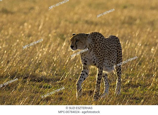 Cheetah (Acinonyx jubatus) heavily pregnant female, Masai Mara, Kenya