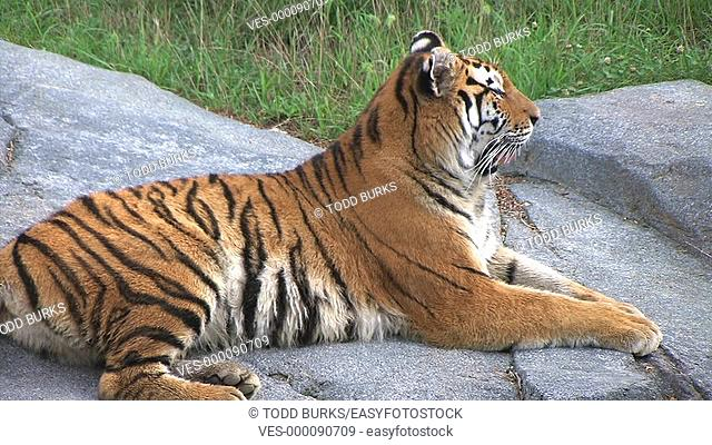 Close-up of Siberian Tiger focusing on his prey