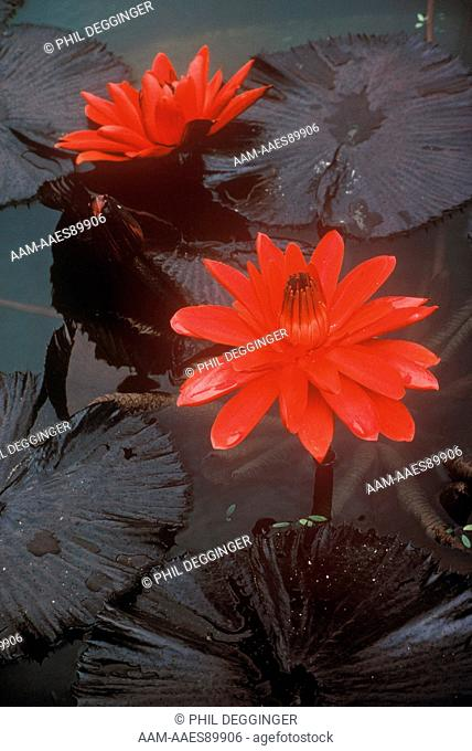 Exotic Waterlilies (Nymphaea 'Red Flame')