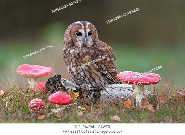 Tawny Owl (Strix aluco) adult, perched on log with Fly Agaric (Amanita muscaria) fungi, Suffolk, England, October, controlled subject