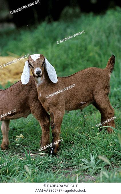 Nubian Goat (Capra prisca) Africa