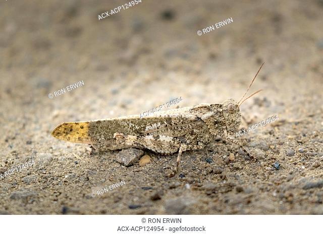 Carolina Grasshopper (Dissosteira carolina), Barrie Island, Manitoulin Island, Ontario, Canada
