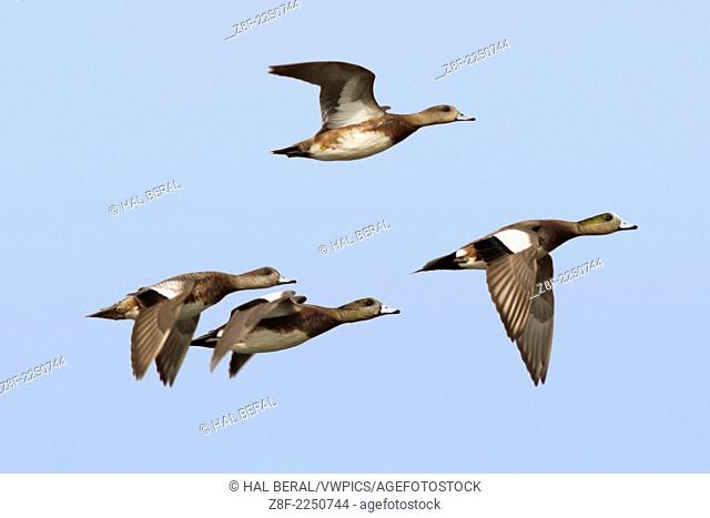Male and female American Wigeon Ducks in flight.(Anas americana).Back Bay Reserve,California