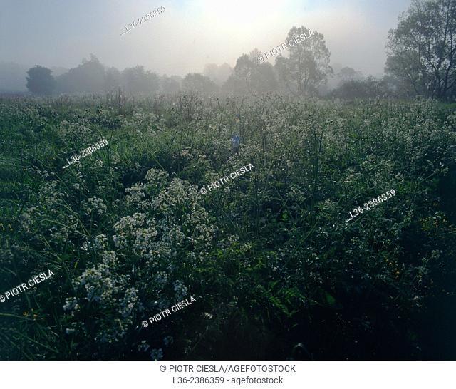 Misty morning. Poland