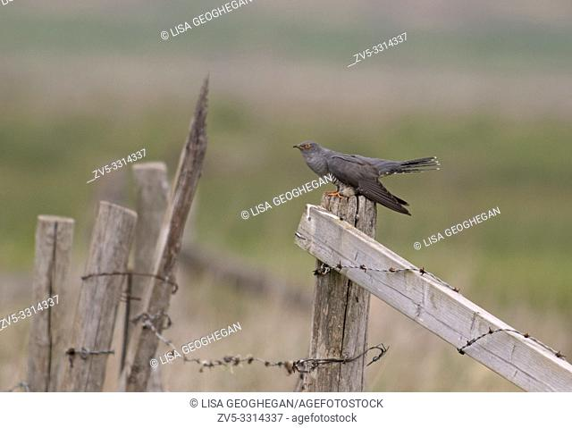Male Cuckoo-Cuculus canorus displaying. Spring