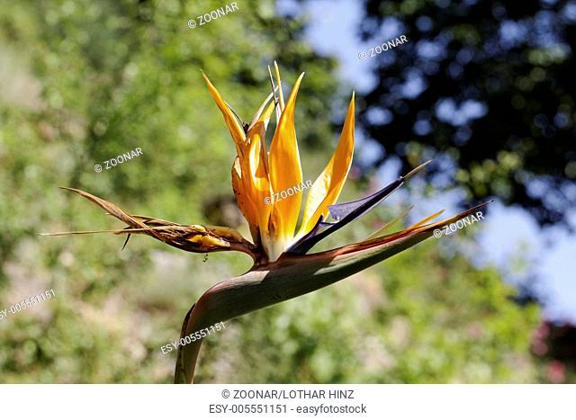 Strelitzia reginae, Strelitzia, Crane flower