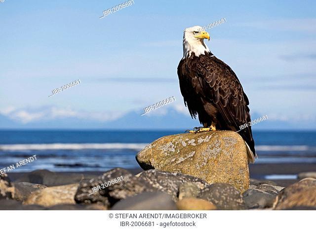 Bald Eagle (Haliaeetus leucocephalus) on the beach at Anchor Point on the Cook Inlet, Alaska, USA