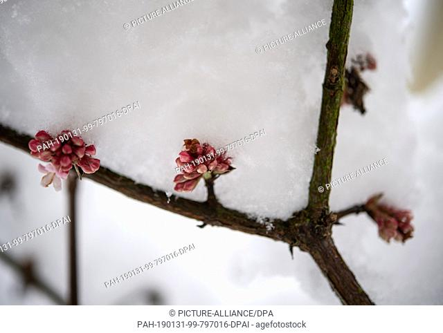 31 January 2019, North Rhine-Westphalia, Herdecke: The flowers of a winter-flowering snowball shrub are covered with a thick snow cap
