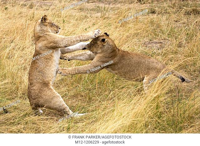 Young Lions play fight in the Masai Mara