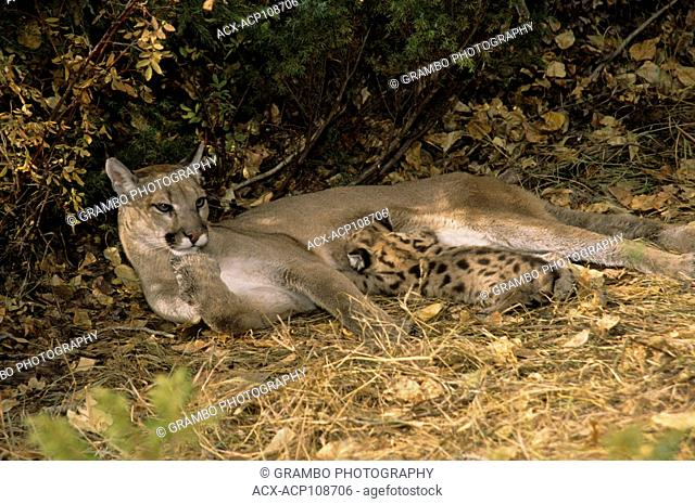 Cougar mother & 5-week-old kitten, Puma concolor, Montana, USA