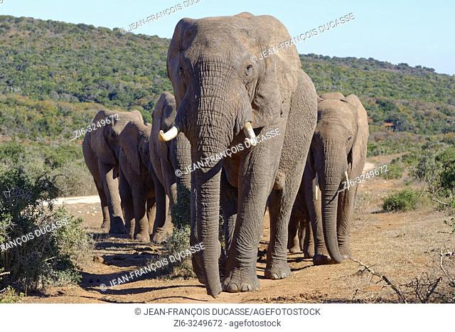 African bush elephants (Loxodonta africana), herd walking on a dirt path, male elephant in the lead, Addo Elephant National Park, Eastern Cape, South Africa