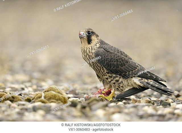 Young Peregrine Falcon ( Falco peregrinus ) sits on a graveled roof on top of an industrial building, eating a pigeon, wildlife, Europe