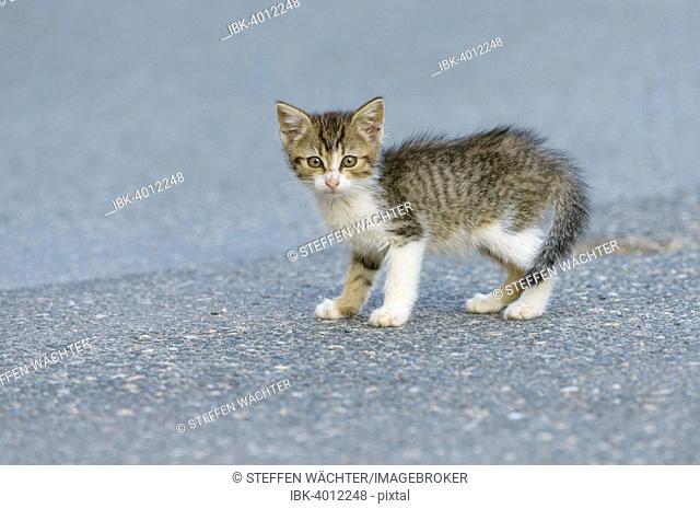 Domestic Cat (Felis silvestris f. catus) kitten on street, Bavaria, Germany