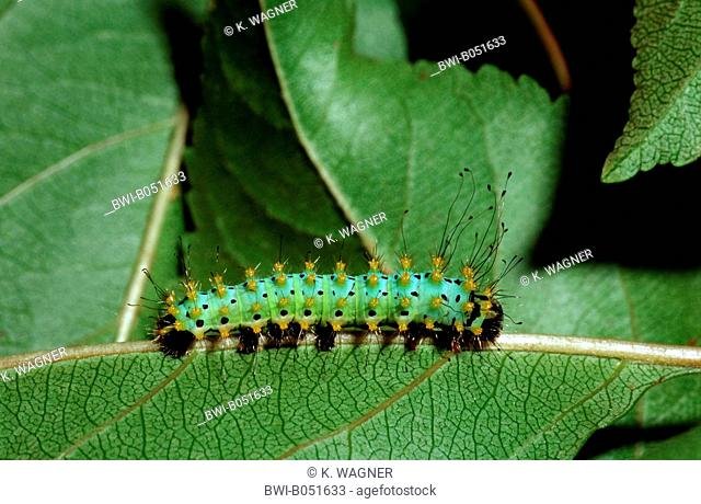 giant peacock moth (Saturnia pyri), caterpillar on leaf, Germany