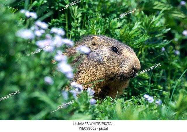 Alpine marmot (Marmota marmota). Dolomiten. Sud Tirol. Italy