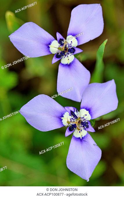 Herbertia (Herbertia lahue), Bastrop County, Texas, USA
