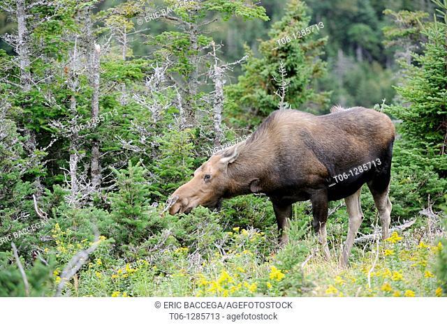 Moose cow browsing leaves  Alces alces  Cap Breton Highlands National Park, Nova Scotia, Canada