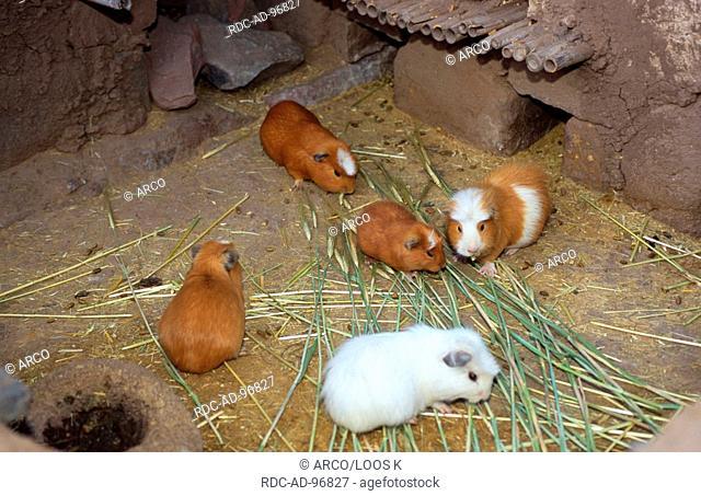 Guinea Pigs, Peru