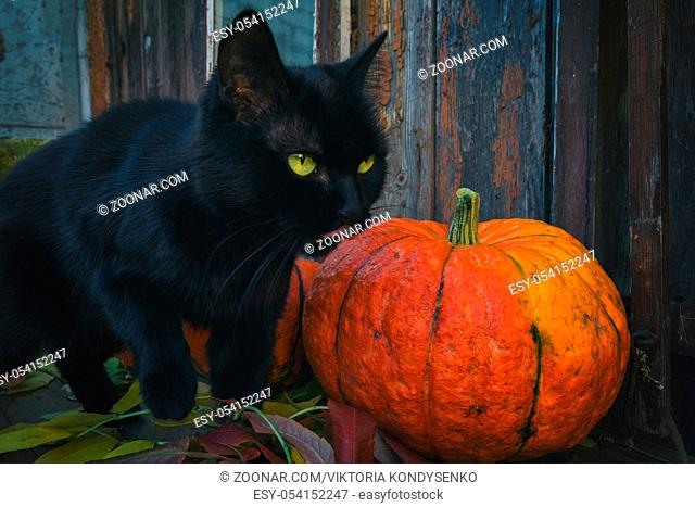 Bright orange pumpkins and a black cat in a dark room on an old wooden table. Halloween night