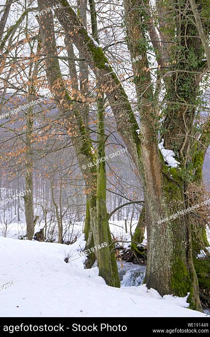 Trees at the edge of a mountain stream in winter, Bruehlbach, Bad Urach, Germany
