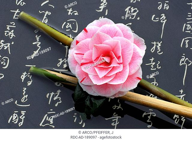 Camellia 'Prof. Filippo Parlatore' on bamboo cane and japanese characters, Camellia japonica