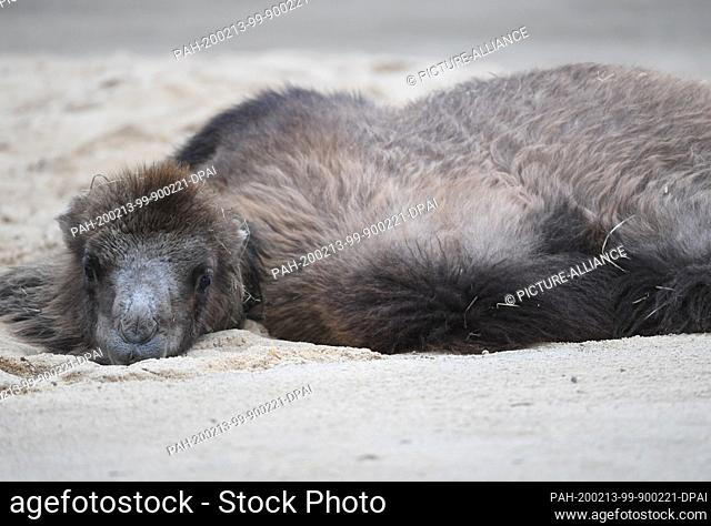 """13 February 2020, Hessen, Frankfurt/Main: The almost one year old Bactrian camel mare """"""""Arya"""""""" lies in the sand in the enclosure of the Frankfurt Zoo"""