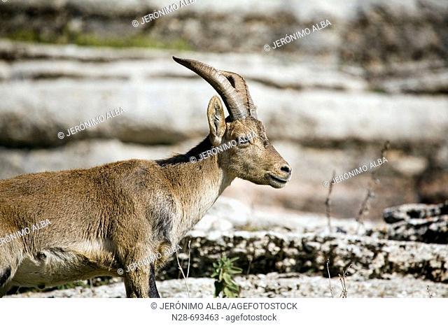 Spanish Ibex (Capra pyrenaica). Torcal de Antequera Natural Park. Málaga province. Spain