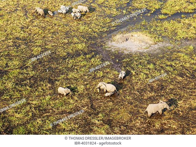 African Elephants (Loxodonta africana), breeding herd, feeding and drinking in a freshwater marsh, aerial view, Okavango Delta, Moremi Game Reserve, Botswana