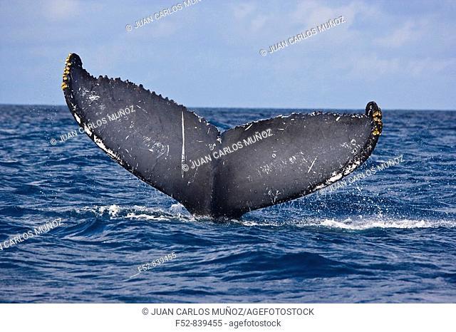 Humpback Whale (Megaptera novaeangliae), Silver Bank Sanctuary for sea mammals, Dominican Republic