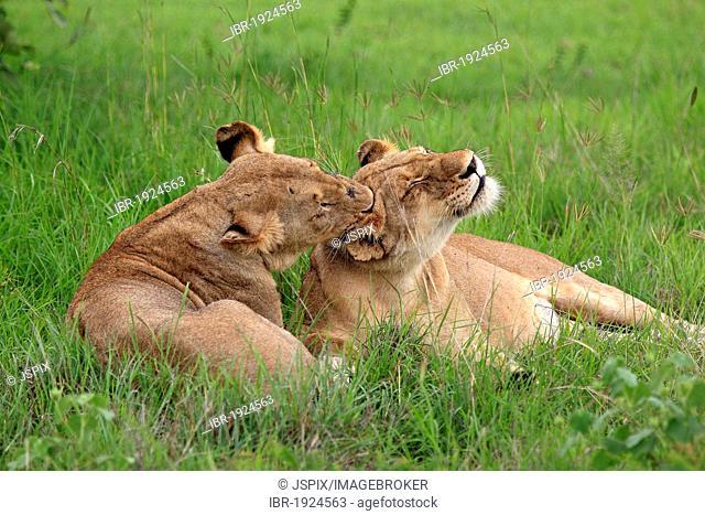 Two Lionesses (Panthera leo), social behavior, Sabi Sabi Game Reserve, Kruger National Park, South Africa, Africa