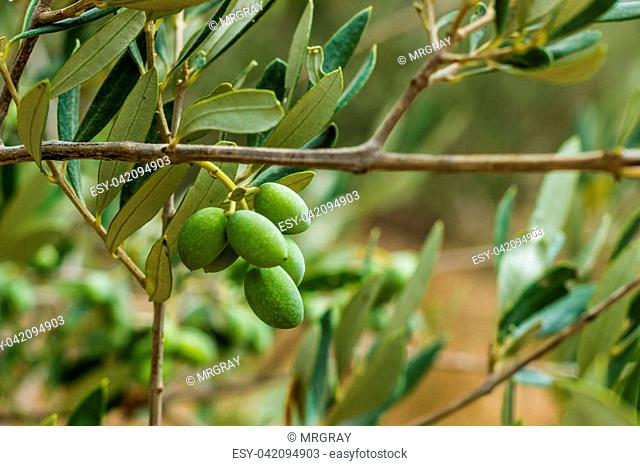 Fresh green olives ready for the harvest