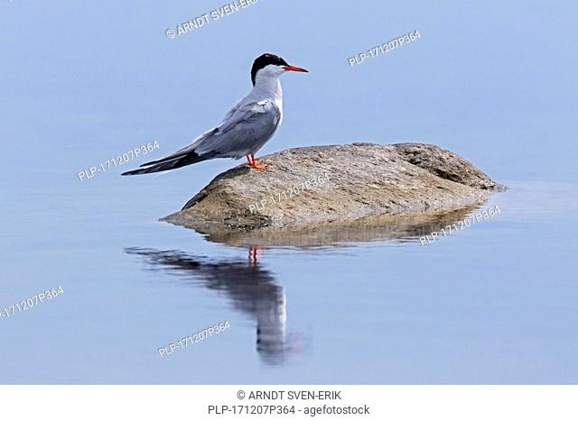 Arctic tern (Sterna paradisaea) in breeding plumage perched on rock in lake in summer