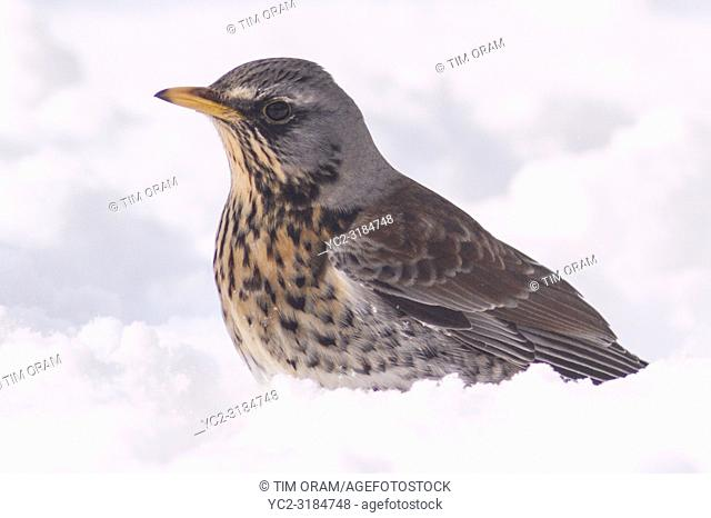 A Fieldfare (Turdus pilaris) feeding in freezing conditions in a Norfolk garden