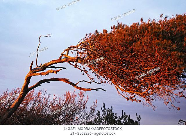 A weird tree on the Mediterranean shore in the south of France, deformed by the wind
