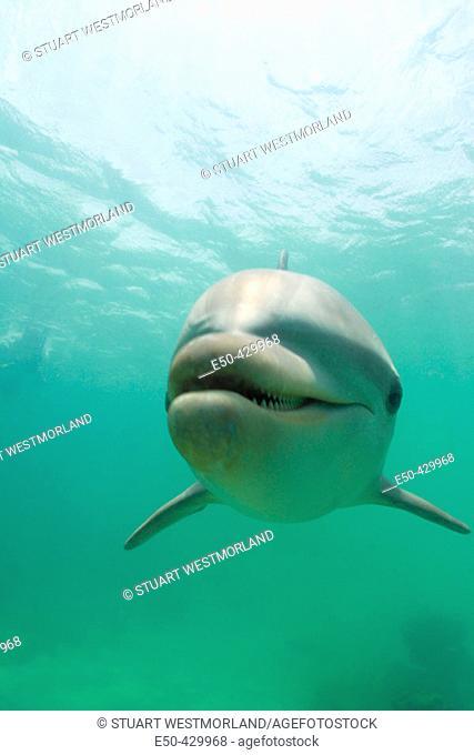 Bottlenose Dolphins (Tursiops truncatus) Caribbean Sea