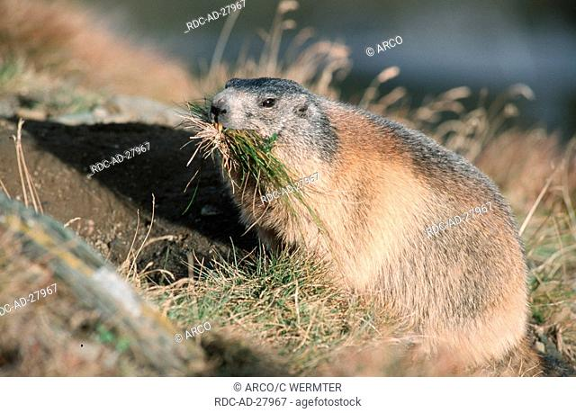 Alpine Marmot making hay national park Hohe Tauern Austria Marmota marmota Alps